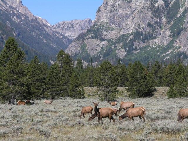 Elk-grazing-at-Grand-Teton-NP