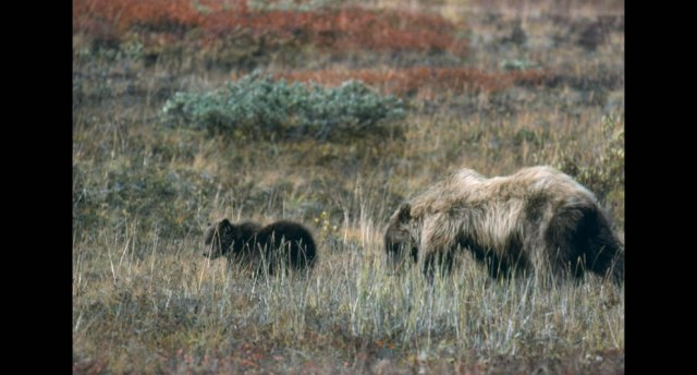 Grizzly-bears-sow-and-cub-in-meadow