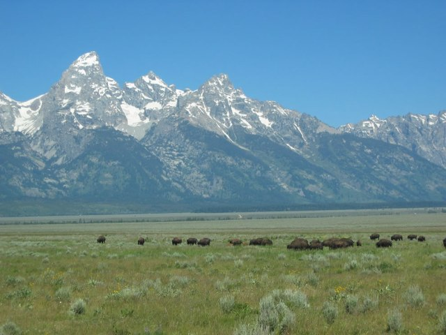 Herd-of-Bison-grazing-at-Grand-Teton-National-Park-Wyoming
